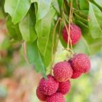 Lychee | Lychee Tree | Sassy Sandpiper