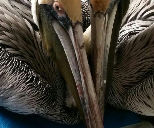 Rehabbed pelicans   St. Pete   Dead Pelicans