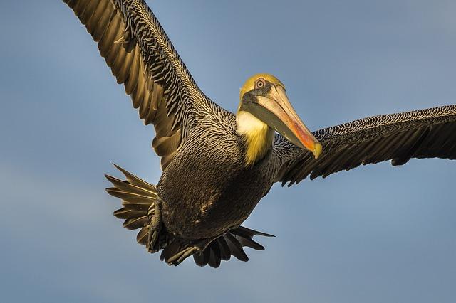 Pelican | Sea Birds | Environment