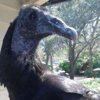 Vlad the Black Vulture   McGough Nature Park   Largo