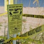 Sea Turtle   FWC   Sea Turtle Nesting