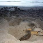 Seat Turtle   FWC   Sea Turtle Nesting