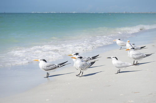 Sand Key | Sea Gulls | Beach Renourishment