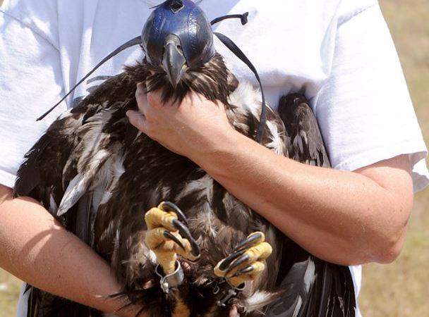 Eaglet Released | Tampa Bay Raptor Rescue | Animals