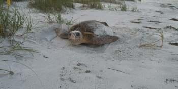 Sea Turtle | PInellas County | Beaches