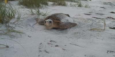 Sea Turtle   PInellas County   Beaches
