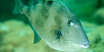 Gray Triggerfish | Fishing | Sports