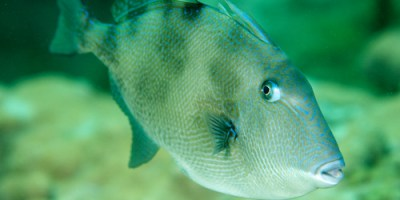 Gray Triggerfish | Fishing | Sports