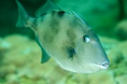 Gray Triggerfish Season Extended in Wake of Hurricane Irma