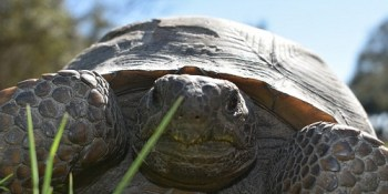 Gopher Tortoise   Wildlife   FWC