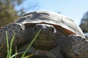 Gopher Tortoises More Active in the Spring