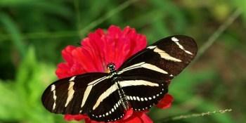 Zebra Longwing | Butterfly | Garden