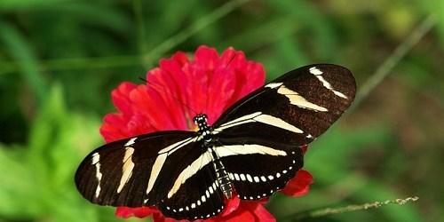 Zebra Longwing   Butterfly   Garden