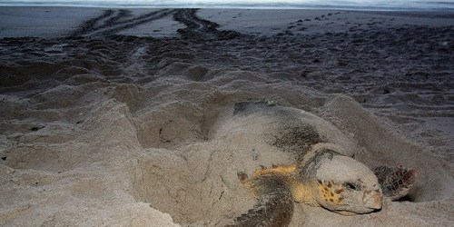 Sea Turtle | Wildlife | Sea Turtle Nesting Season