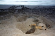 Watch for Nesting Sea Turtles