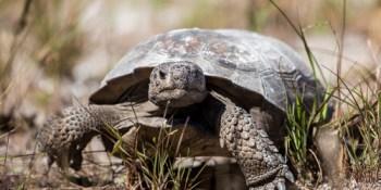 Caladesi Island | Gopher Tortoise | Environment
