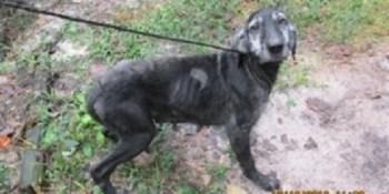 Hernando Sheriff   Labrador Retrievers Sezied   Dogs Seized