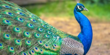 Peacock | Animals | Birds