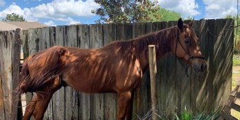 Levi | Hillsborough Sheriff | Neglected Horse