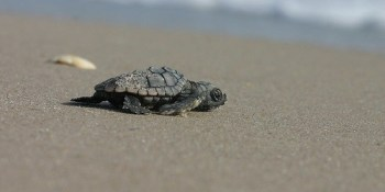 Sea Turtle Hatchling | Wildlife | FWC