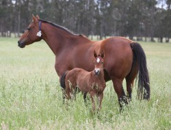 Danehill Express-Royal Conquest colt