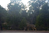 Roadside Deer Welcomes us to the Grand Canyon
