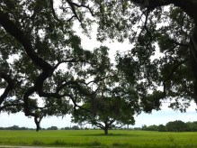 NOLA 1812 battlefield tree