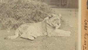 TCD MS 10608/28 'Jerry' the Lion in 1907