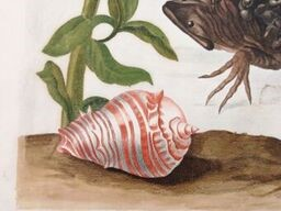"Detail from Metamorphosis Insectorum Surinamensium (Amsterdam, 1719). "" I had these shells brought up from the bottom of the sea in order to see what kind of creatures live in them"""