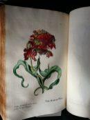 Red tulip from Regnum Florae