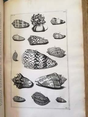 Plate XXXII: Voluta shells. L is referred to as a wild Music Whelk due to its markings reminiscent of a music stave, and M is sometimes called the Little Harp (Centre right and left)