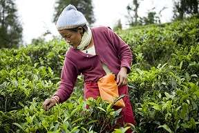 Nepal Tea Plucking (small)-1
