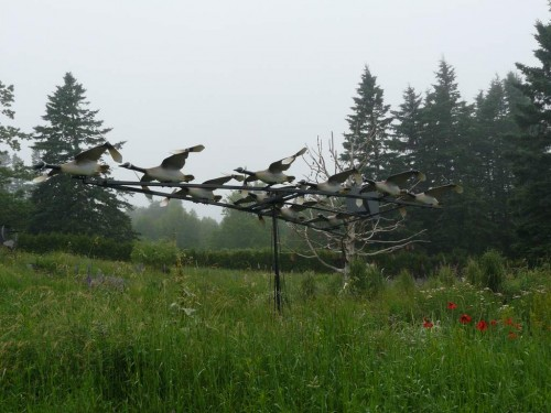 Canada_Geese_in_flight