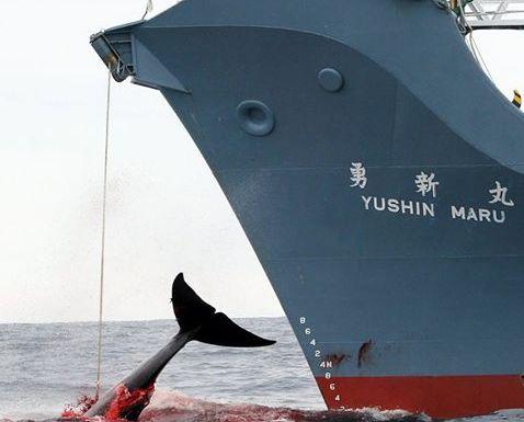 เรือญี่ปุ่นถูกจับขณะล่าวาฬในน่านน้ำออสเตรเลีย