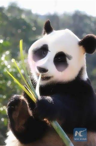 """ฟรุ้งฟริ้ง!ภาพแพนด้าผ่าน """"เหม่ยถู"""" แอพแต่งภาพยอดฮิตของจีน"""