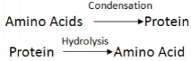 Condensation And Hydrolysis of Protein