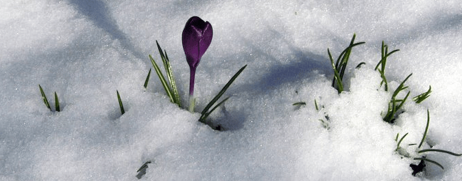 Purple crocus pushing up through the snow with shadows