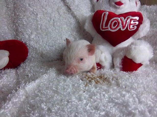 sweety pig