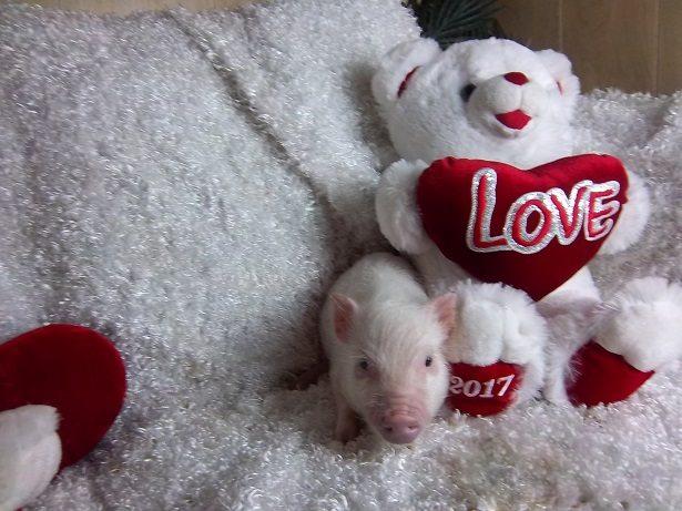 super sweet piglet