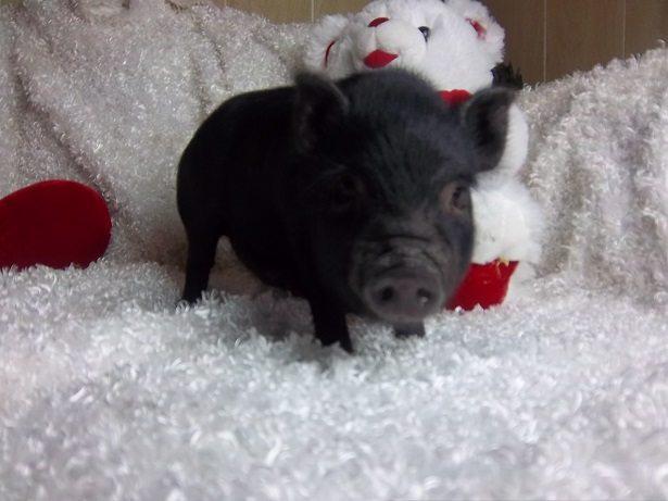 black male piglet
