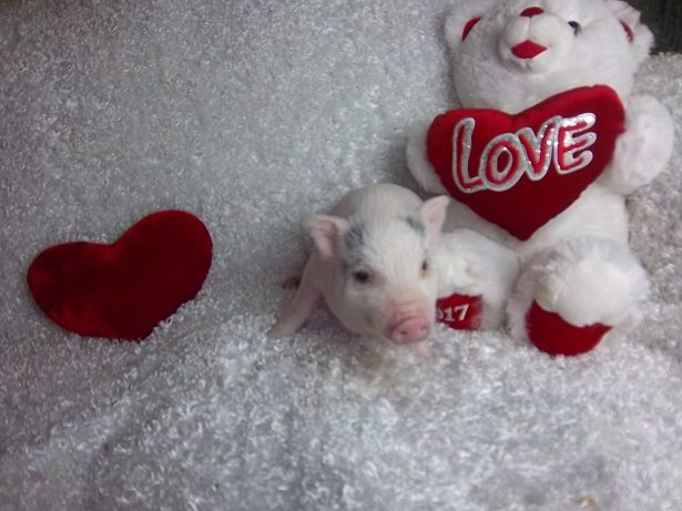pink male piglet