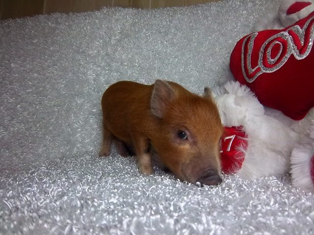 red micro pig