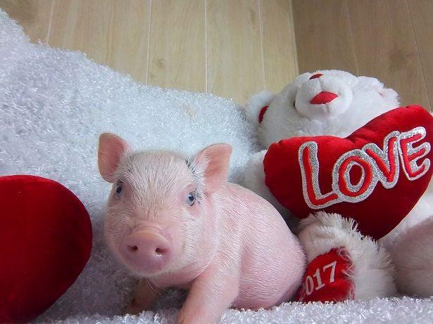 micro piglet