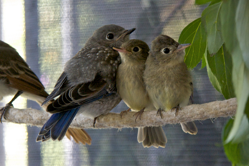 Western Bluebird and Pacific-slope Flycatchers