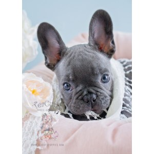 Flossy French Bulldog Puppy Sale Teacup Puppies French