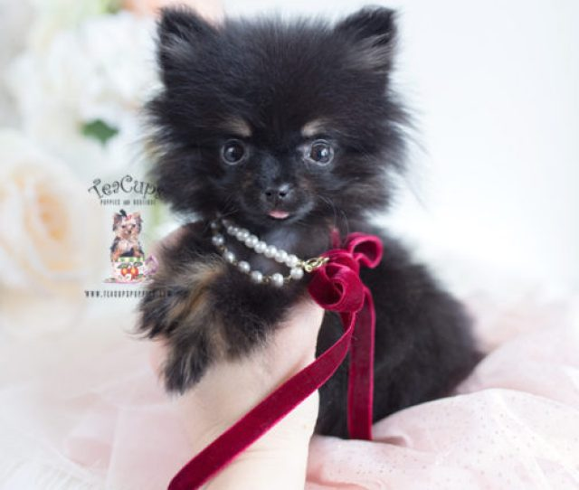 Available Teacup Pomeranians And Pomeranian Puppies For Sale
