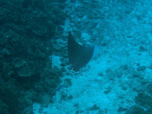 ケラマ諸島ダイビング