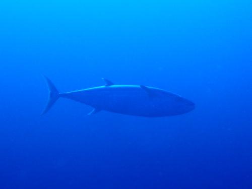 慶良間諸島ダイビング