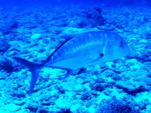 沖縄ダイビングで見たロウニンアジです