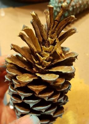 open-pine-cone